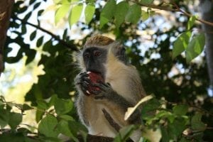 A Green Monkey at the Barbados Wildelife Reserve.