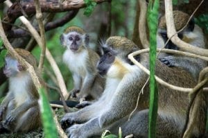 These Barbados Green Monkeys are seasonal breeders usually breeding in the months of April to June during the months of heavy rainfall. Infant mortality is high at about 57%.