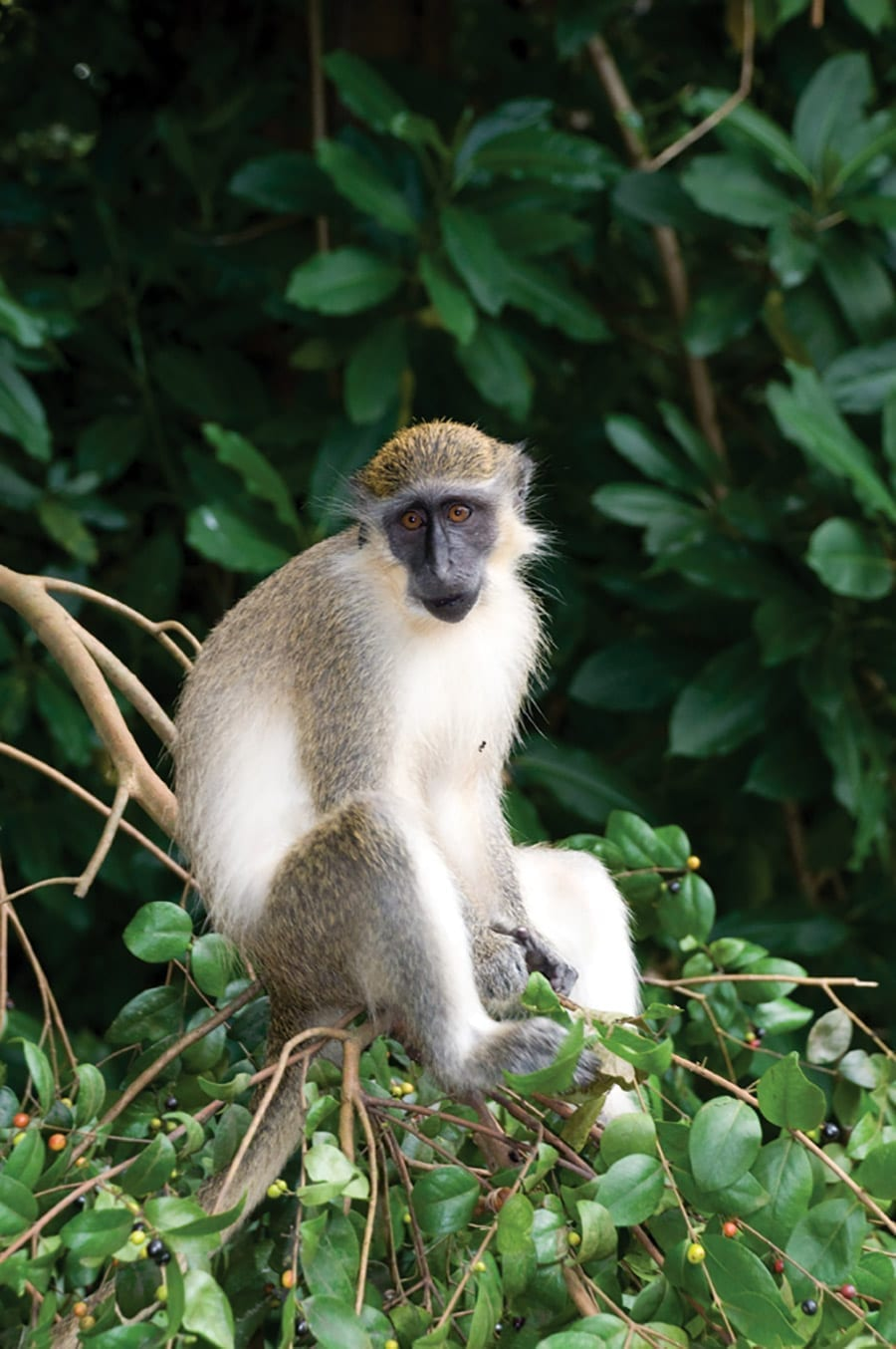 Monkeys are very playful and can be seen running to and fro through the trees and swinging from the branches. They use facial expressions and body language to communicate their emotions.
