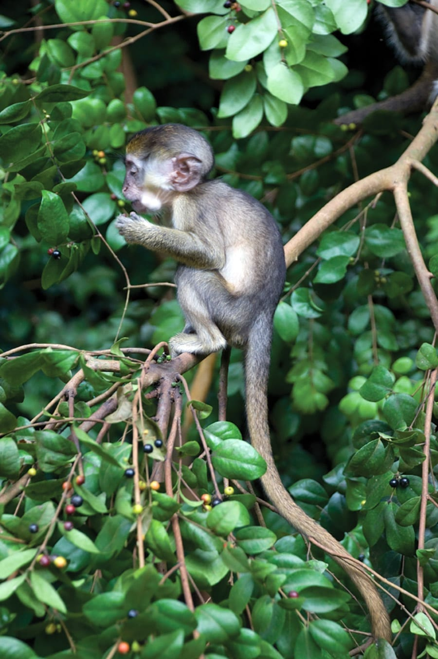 The Mother Green Monkey are very protective over their young and usually take care of them for the first year before allowing them to live as adults.