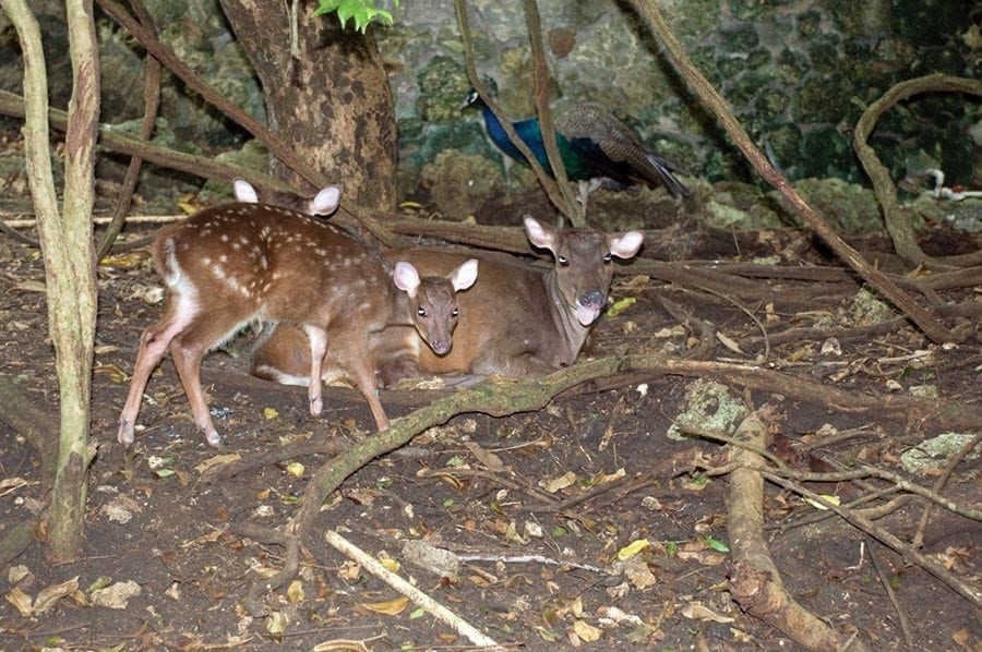 "Along the footpaths through the forestland the undergrowth reveals the Brocket Deer and ""Mara"" at the Barbados Wildlife Reserve."
