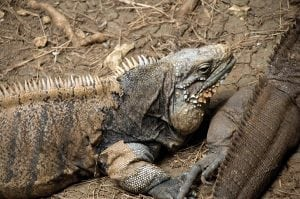 "See the sunbathing lazy reptiles in the Iguana Sanctuary at the Wildlife Reserve. These reptiles have a ""third eye"" on their heads which is a light sensing organ and does not make out detail but brightness. Be sure to look out for the parietal eye!"