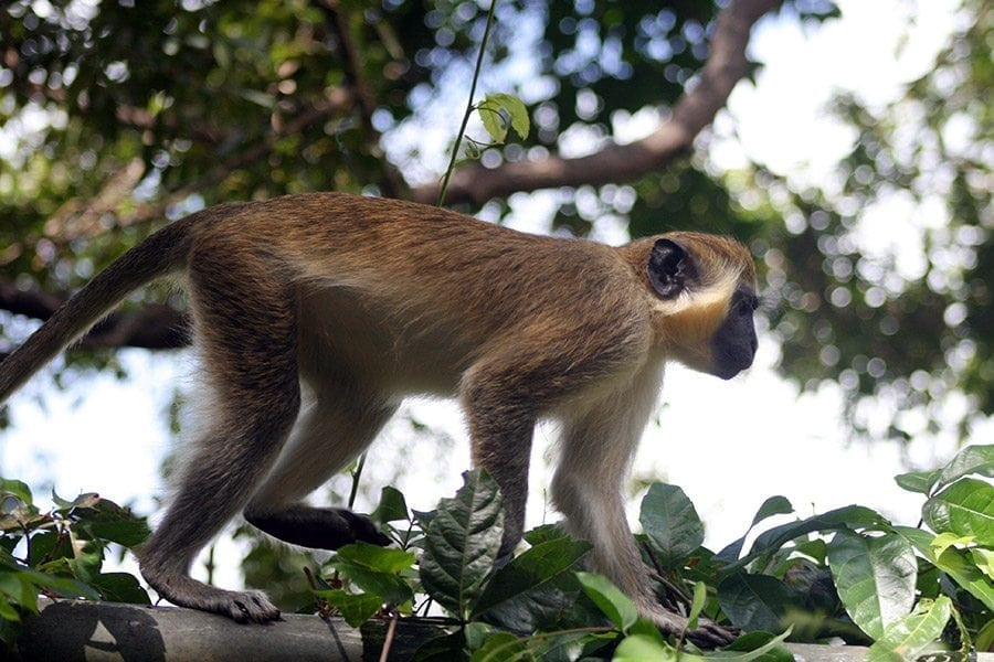 Appreciate this Monkey's strut with visual of the golden green fur and pale hands and feet, the tip of the tail, cheeks and whiskers are golden yellow.