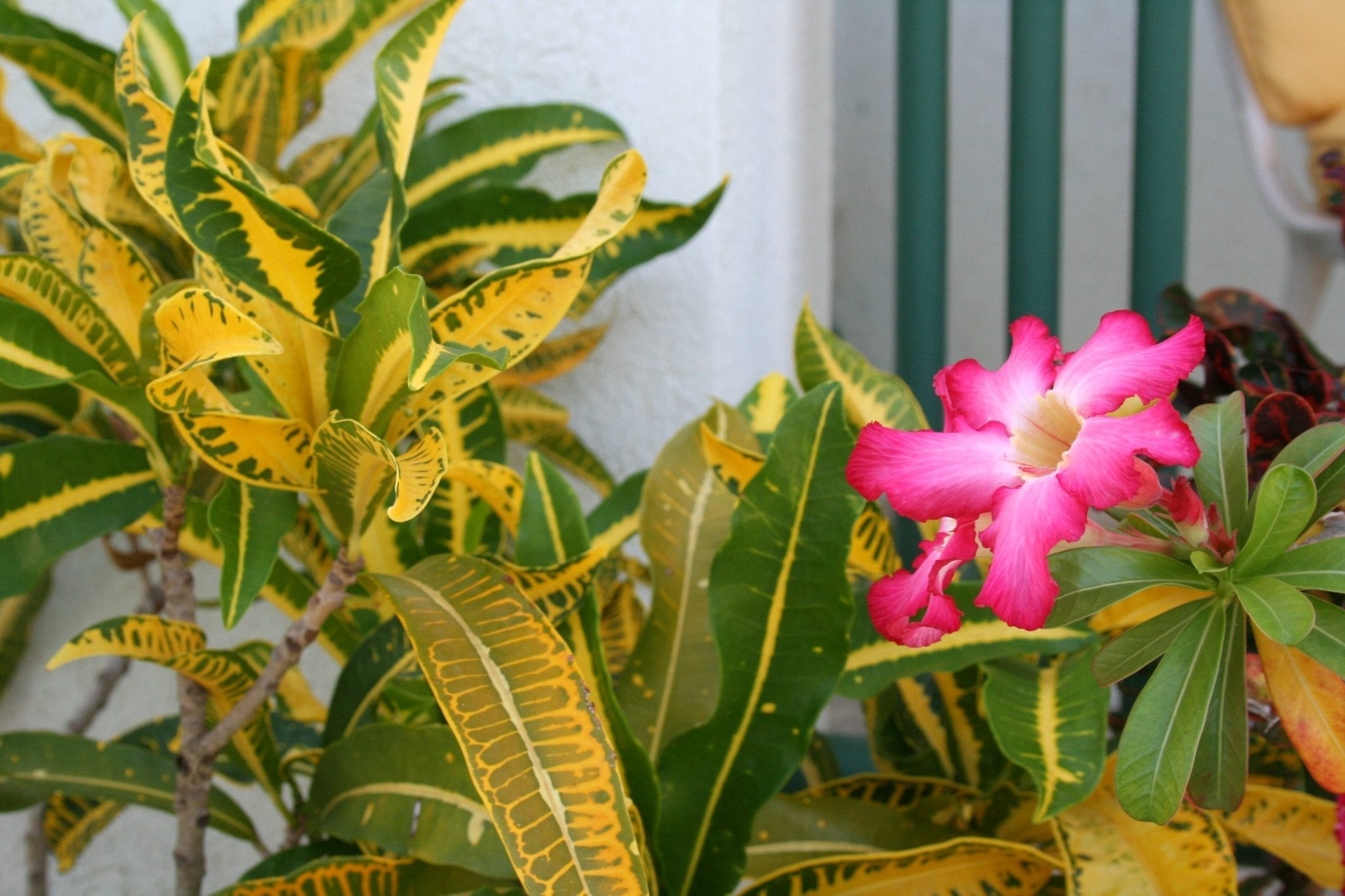 Miri-Joy Apartments Barbados - Tropical blooms.