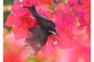 Bananaquit and Bougainvillea
