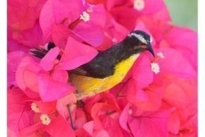 Bananaquit in Bougainvillea