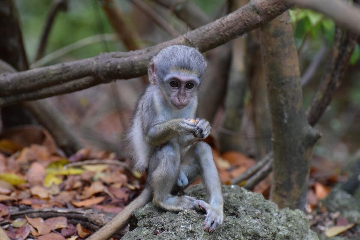 Baby Green Monkey