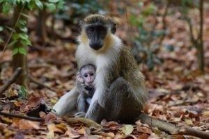 Mother and Baby Green Monkeys.