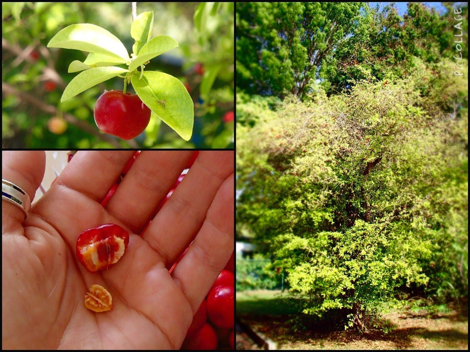Bajan Cherry