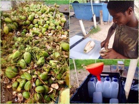 Coconuts in Barbados