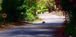 Barbados Experiences - Green Monkey Crossing Road