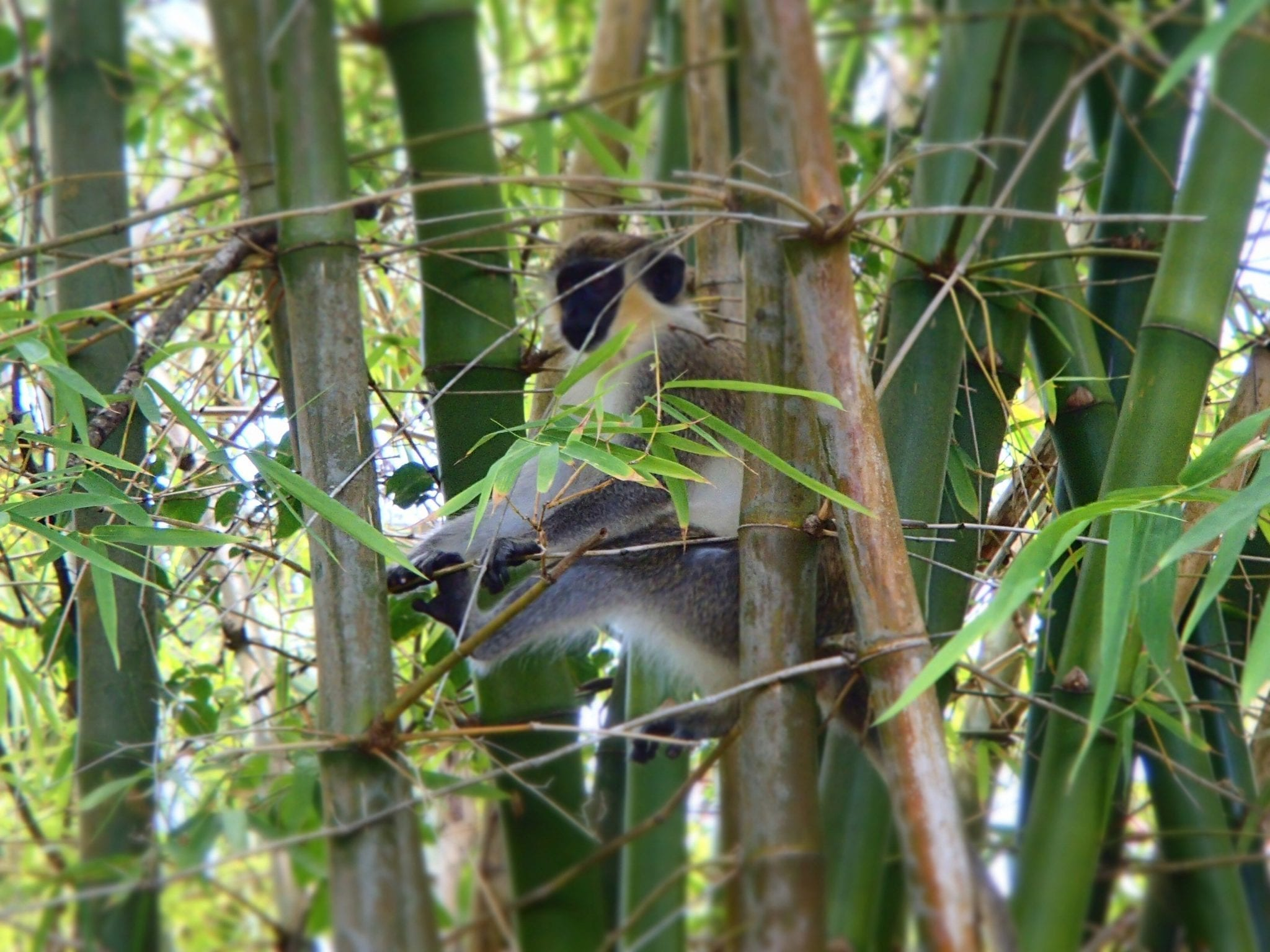 Barbados Experiences - Green Monkey