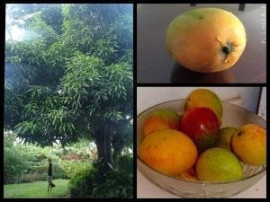 Local Mangos from Barbados