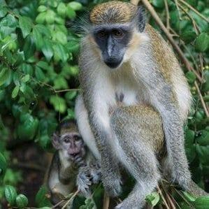 Wildlife in Barbados