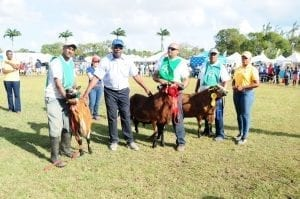 Barbados Blackbelly Sheep on Show